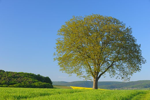 Lone Walnut Tree in Field, Spessart, Bavaria, Germany : Stock Photo