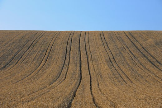 Stock Photo: 1828R-63650 Corn field in summer. Bavaria, Germany