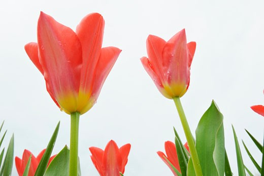 Fosteriana Tulips : Stock Photo