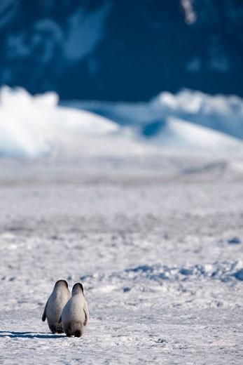 Emperor Penguin Chicks, Snow Hill Island, Antarctica : Stock Photo
