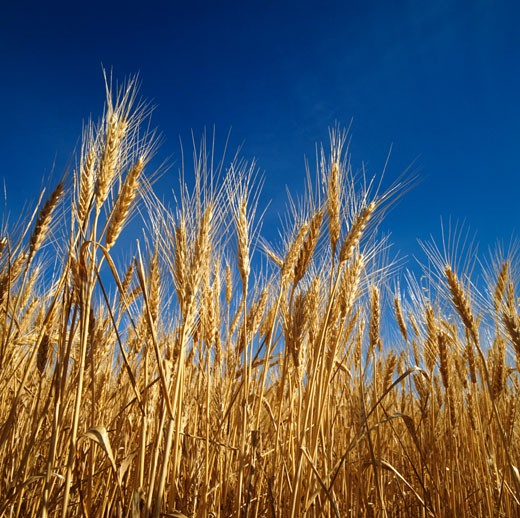 Stock Photo: 1828R-64373 Close-up of Wheat Ready for Harvest