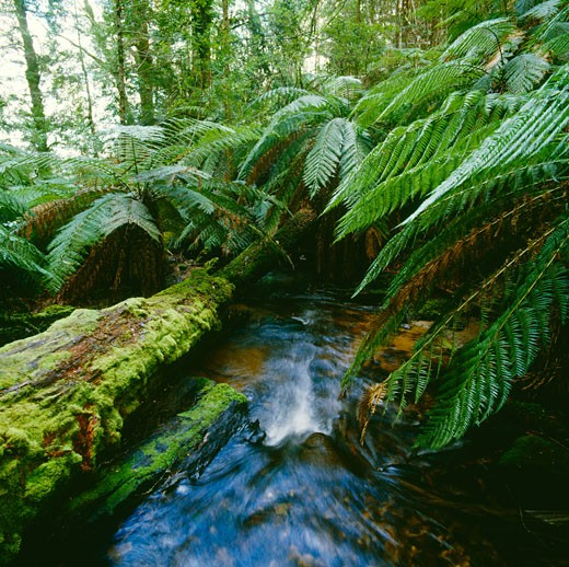 Stock Photo: 1828R-64547 Rainforest Stream, and Tree Ferns, Tarra-Bulga National Park, Victoria, Australia