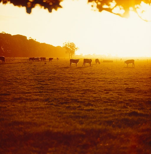Cattle Grazing at Sunrise : Stock Photo