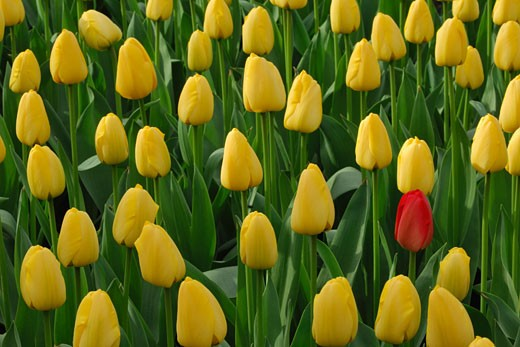 Stock Photo: 1828R-64783 Field of Yellow Tulips With One Red Tulip, Lisse, Netherlands