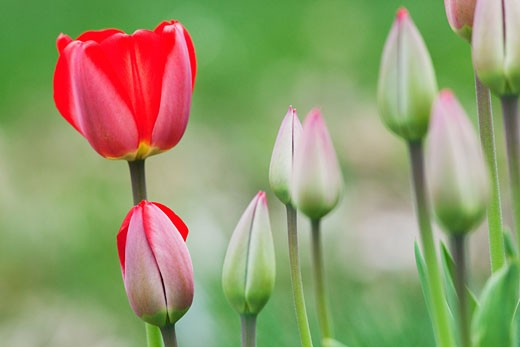 Tulip Bud, Near Madoc, Ontario, Canada : Stock Photo