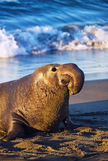 Stock Photo: 1828R-65485 Northern Elephant Seal, Piedras Blancas, Cambria, California, USA