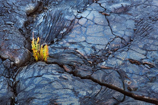 Stock Photo: 1828R-65503 Ferns Growing in Lava Rock, Kalapana, Puna Coast, Big Island, Hawaii, USA