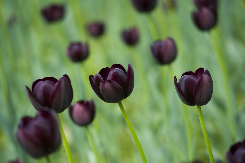 Stock Photo: 1828R-65551 Field of Queen of Night Tulips