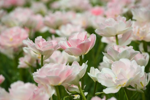 Stock Photo: 1828R-65558 Field of Maywonder Tulips