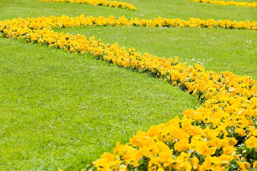 Stock Photo: 1828R-65568 Yellow Flowers in Mirabell Garden, Salzburg, Salzburger Land, Austria