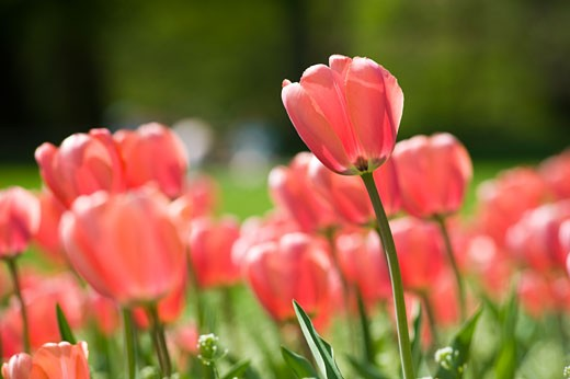 Stock Photo: 1828R-65575 Field of Tulips