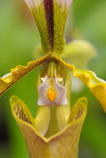 Stock Photo: 1828R-65815 Clsoe-up of Lady's Slipper Orchid
