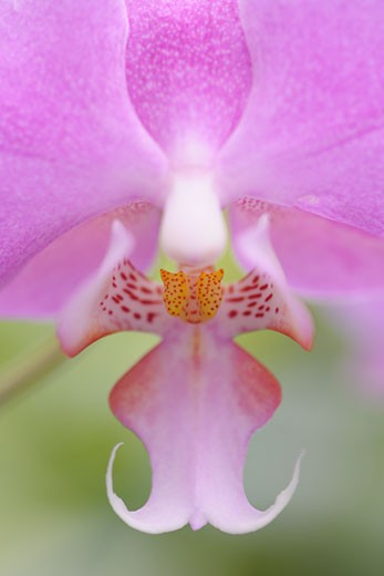Close-up of Orchid : Stock Photo