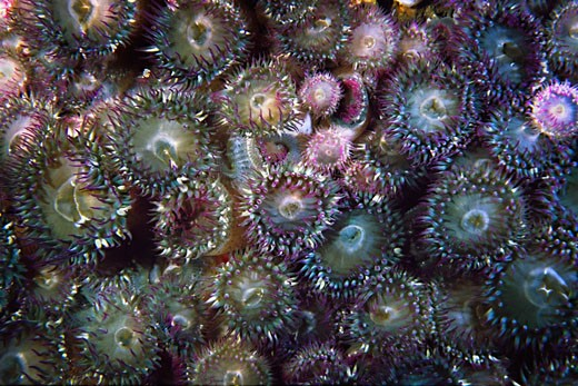Aggregating Anemones : Stock Photo