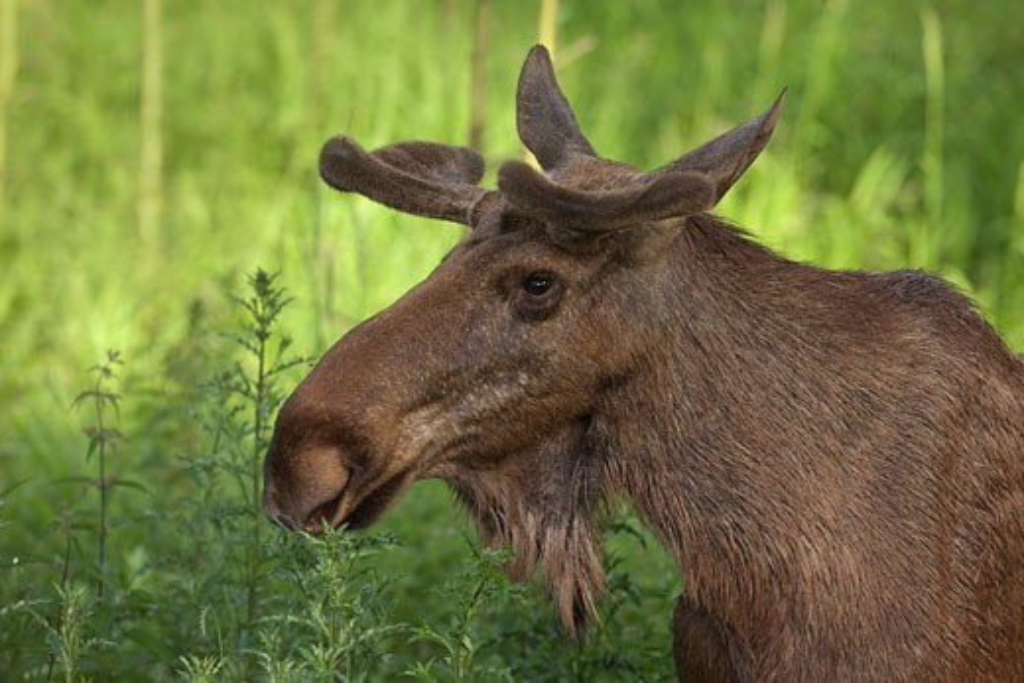 Stock Photo: 1828R-66578 Portrait of European Elk