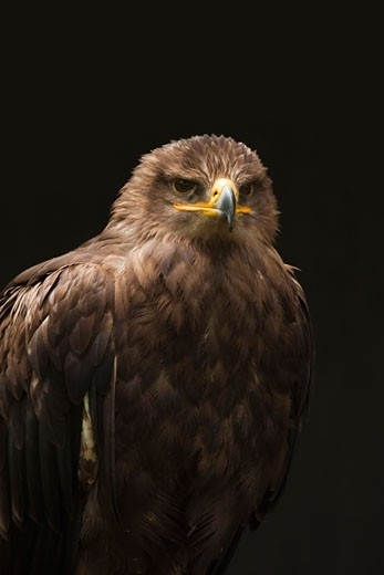 Stock Photo: 1828R-66585 Steppe Eagle