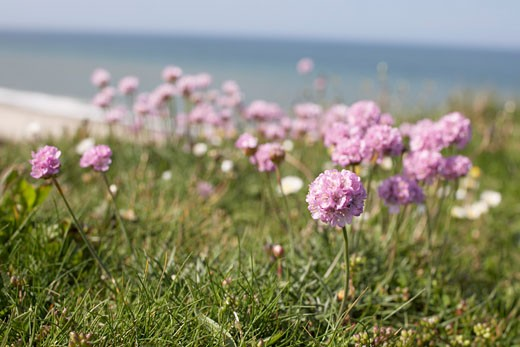 Stock Photo: 1828R-66659 Close-up of Flowers at Beach, Bovbjerg, Jylland, Denmark