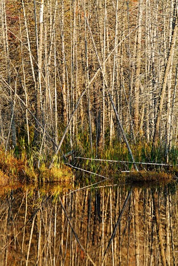 Stock Photo: 1828R-67128 Trees Reflected in Lake, Algonquin Provincial Park, Ontario, Canada