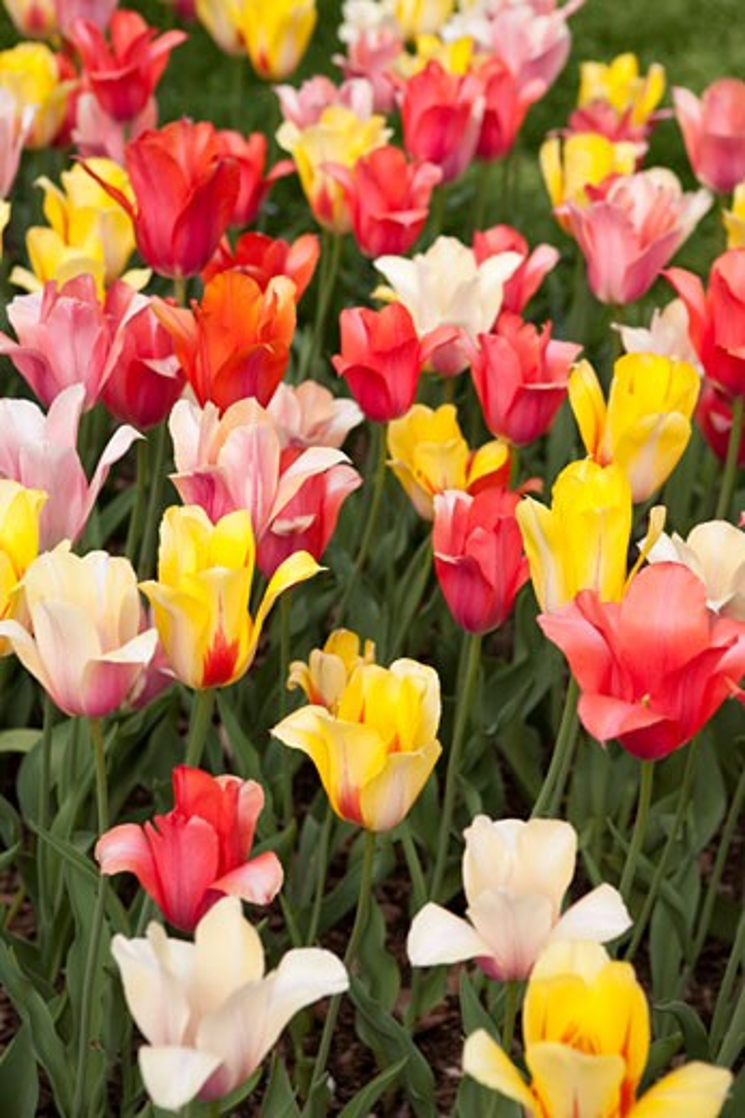 Tulips, Brooklyn Botanical Gardens, Brooklyn, New York City, New York, USA : Stock Photo