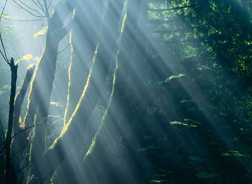Sunrays in Forest, near Ecola State Park, Oregon, USA    : Stock Photo