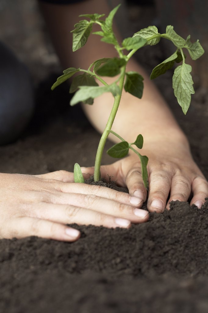 Stock Photo: 1828R-67781 Child Planting Tomato Seedling