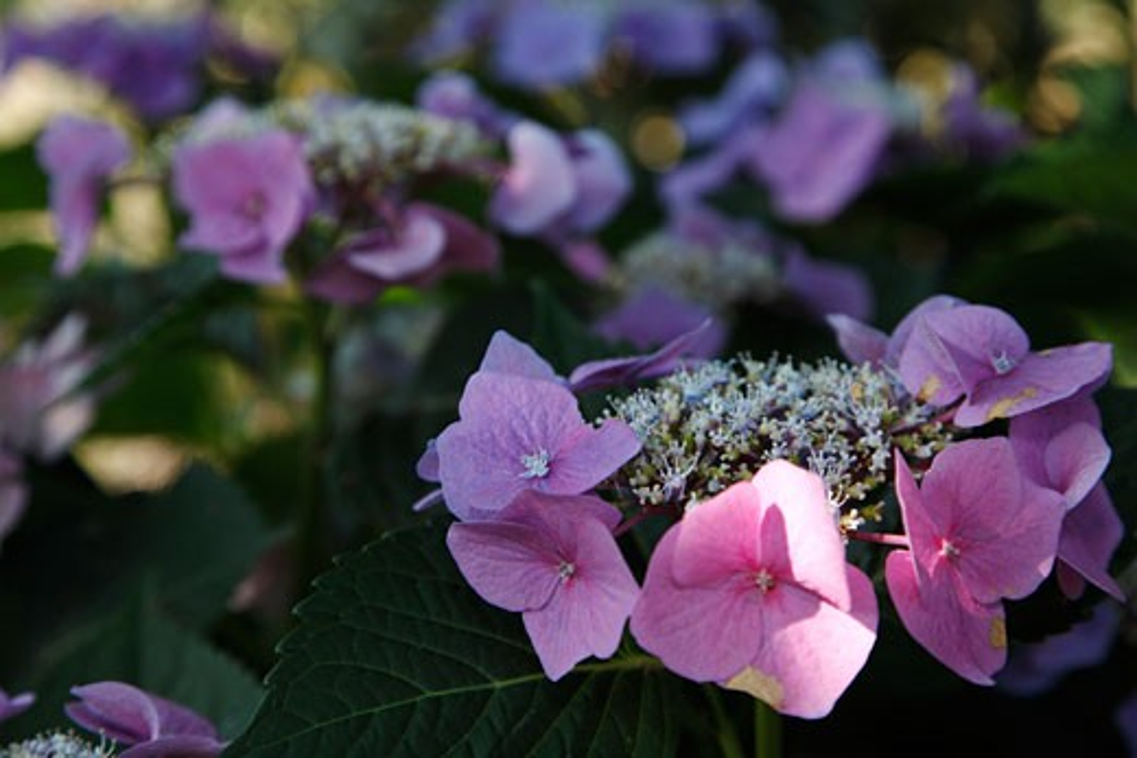 Stock Photo: 1828R-68054 Hydrangea Plant