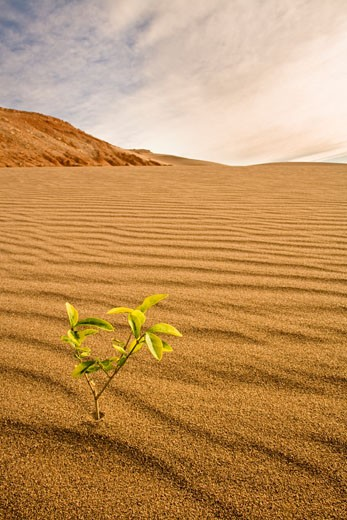 Stock Photo: 1828R-68110 Small Plant Growing in the Desert