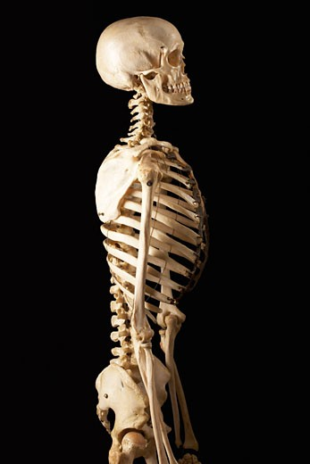 Lateral View of Skeleton : Stock Photo