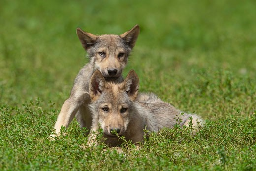 Stock Photo: 1828R-68359 Wolf Pups