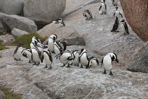 Stock Photo: 1828R-69197 Magellan Penguins, Seal Island, Western Cape, South Africa