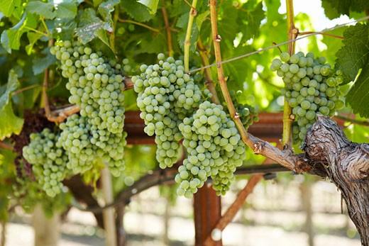 Stock Photo: 1828R-69364 Wine Grapes on Vine, California, USA