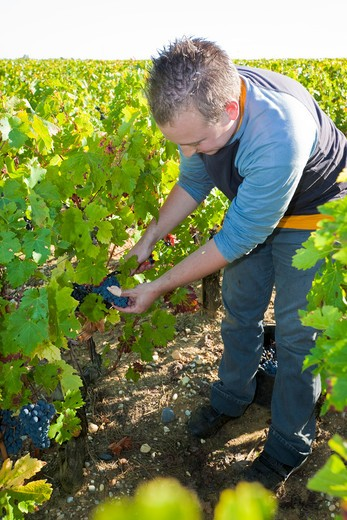 Man Picking Grapes at Vineyard, Pauillac, Gironde, Aquitane, France : Stock Photo