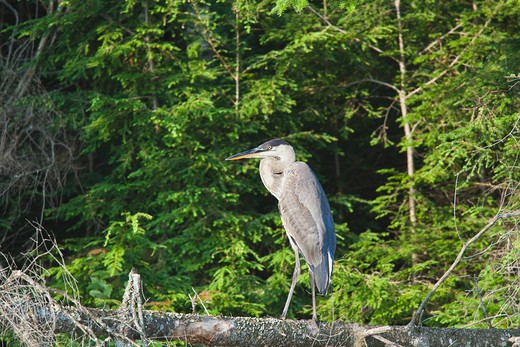 Great Blue Heron, Algonquin Provincial Park, Ontario, Canada : Stock Photo