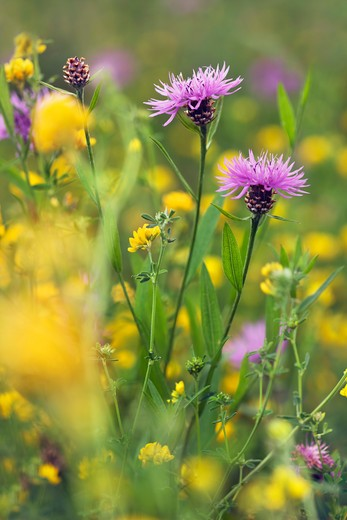 Brownray Knapweed in Trefoil Field : Stock Photo