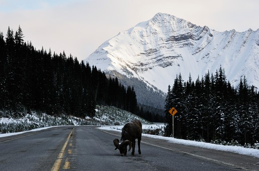 Bighhorn Sheep Licking Salt on the Road, Kananaskis Country, Alberta, Canada : Stock Photo