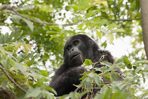 Stock Photo: 1828R-70871 Mountain Gorilla, Uganda