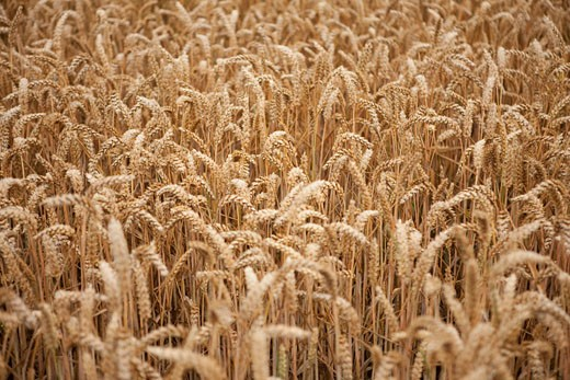 Stock Photo: 1828R-71033 Wheat Field