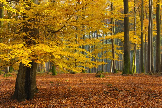 Beech Forest in Autumn, Spessart, Bavaria, Germany : Stock Photo
