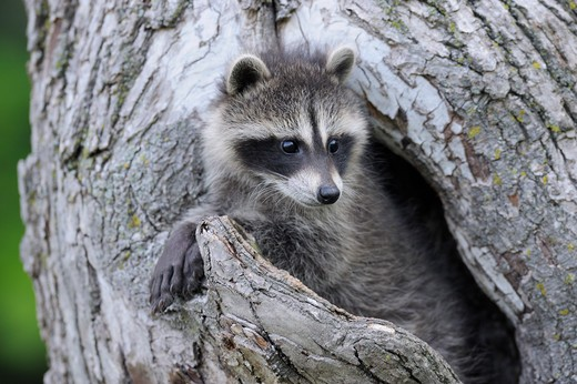 Stock Photo: 1828R-71548 Baby Raccoon, Minnesota, USA