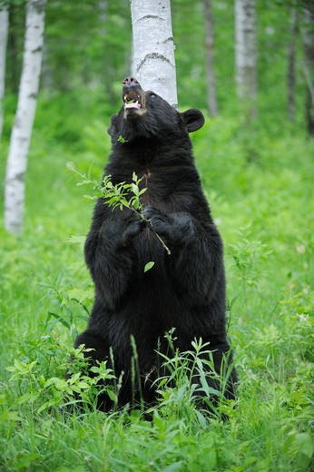Stock Photo: 1828R-71582 Black Bear in Forest, Minnesota, USA