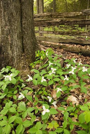 Stock Photo: 1828R-74670 Woodland Trilliums near Madoc, Ontario, Canada