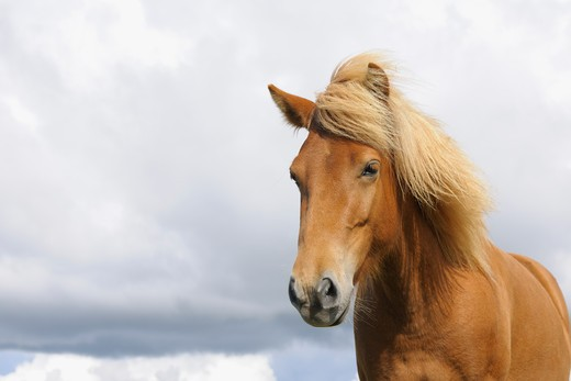 Stock Photo: 1828R-75468 Portrait of Icelandic Horse, Vik, South Iceland, Iceland