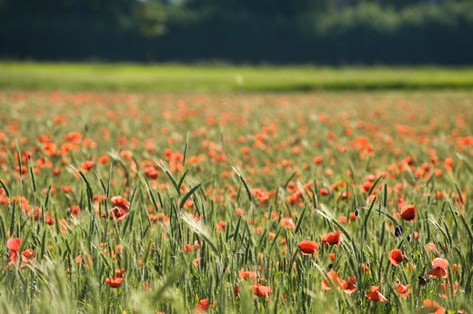 Organic Wheat Field and Poppies, Salzburg, Austria : Stock Photo