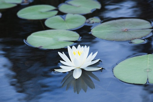 Stock Photo: 1828R-76517 Waterlily, Wolf Bay, Smoke Lake, Algonquin Provincial Park, Ontario, Canada