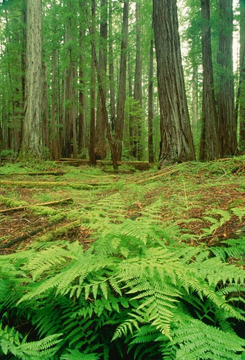 Stock Photo: 1828R-7691 Humboldt Redwood State Park, California, USA