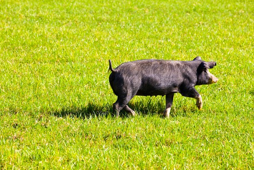 Stock Photo: 1828R-76935 Black Pig, Mallorca, Spain