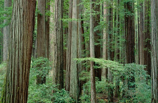 Stock Photo: 1828R-7701 Humboldt Redwood State Park, California, USA