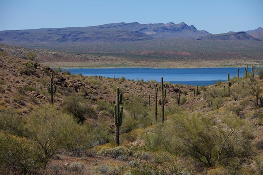 Stock Photo: 1828R-77229 Saguaro Cactus on Arizona Side of Lake Havasu, California in the Background, USA