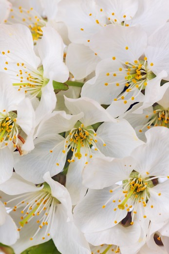 Stock Photo: 1828R-77349 Wild Cherry Blossoms