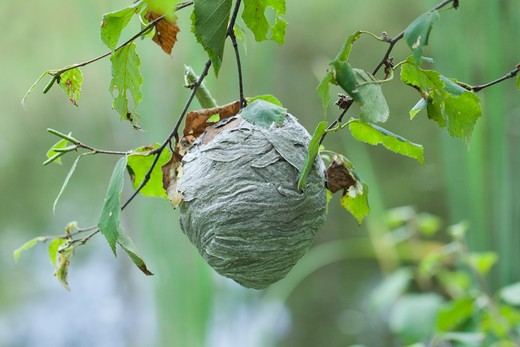 Stock Photo: 1828R-78490 Paper Wasp Nest Hanging Over Pond, Near Madoc, Ontario, Canada